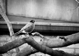 Robin in Black and White